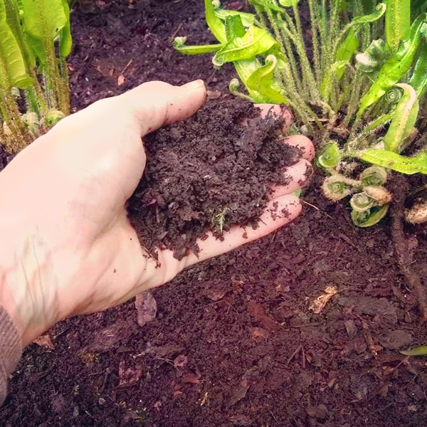 Close up showing hand spreading of leaf mould around plants _ lainglandscapedesign.co.uk